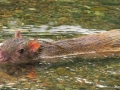 Agouti-in-river_-Osa