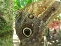 Blue-Morpho-butterfly_-Osa