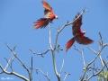 Scarlet-Macaws_-Osa