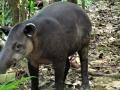 Tapir-near-Corcovado_-Osa