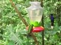 Violet-saberwing-hummingbird_-Monteverde