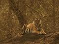 ff_tiger