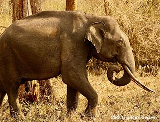 FF_elephant_250h