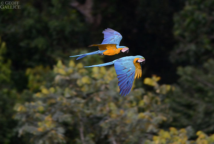 macaws_745x500