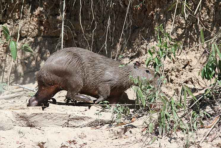 Capybara_GErkenswick_745x500