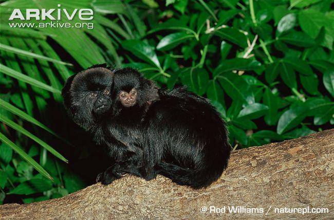 Goeldis-monkey-with-infant-on-back