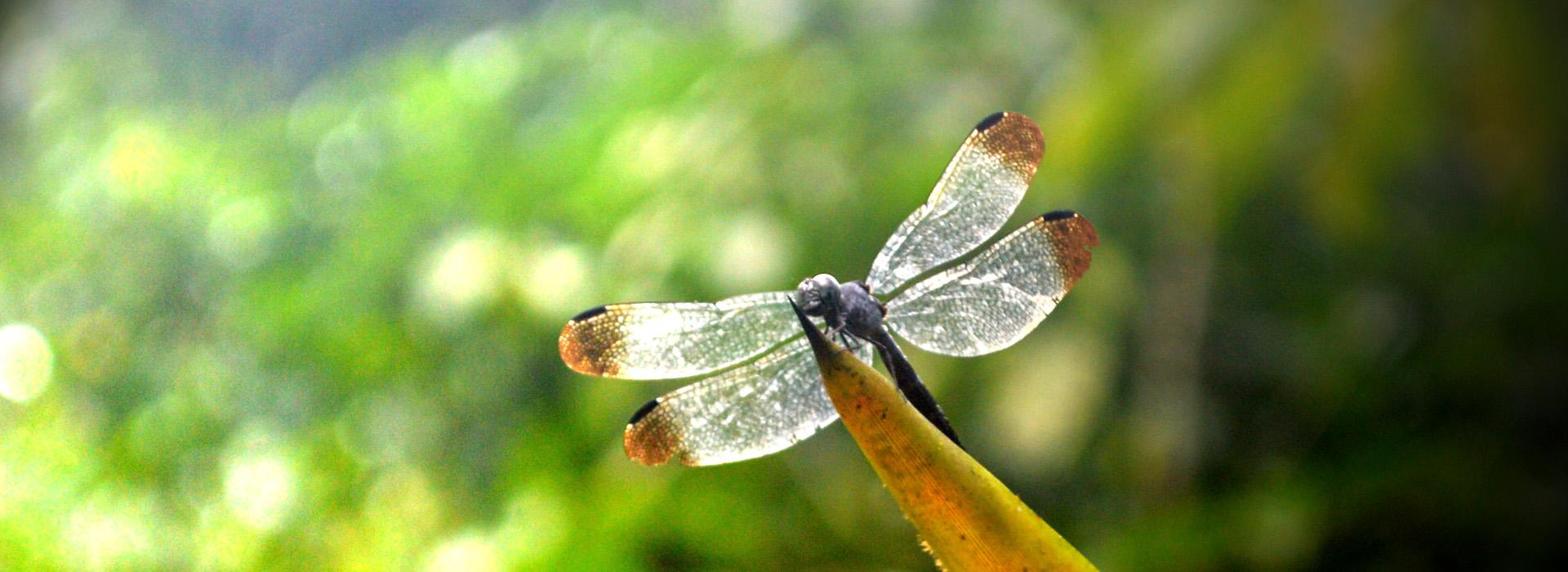 volunteerdragonfly