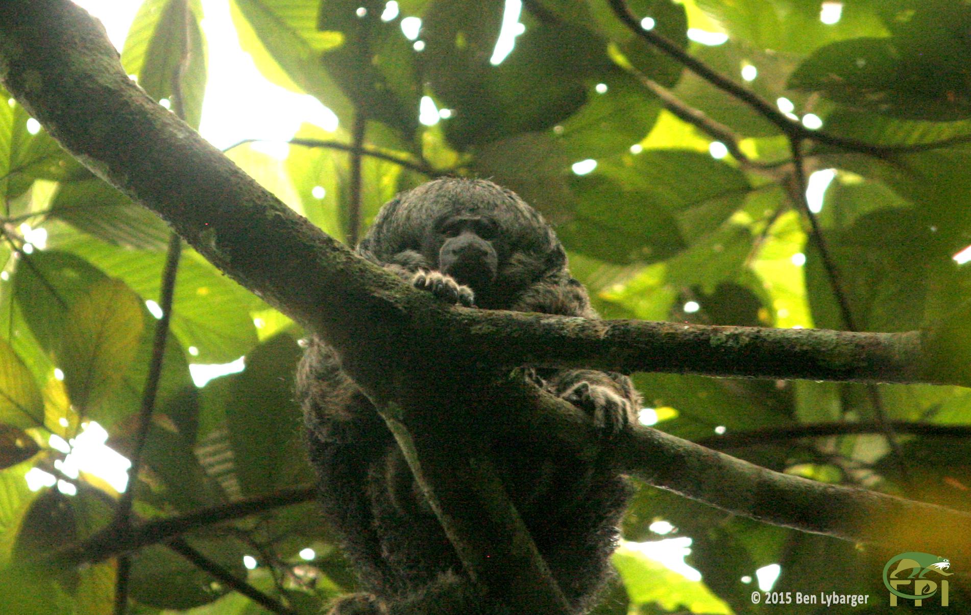 Saki Monkey (Pithecia irrorata)