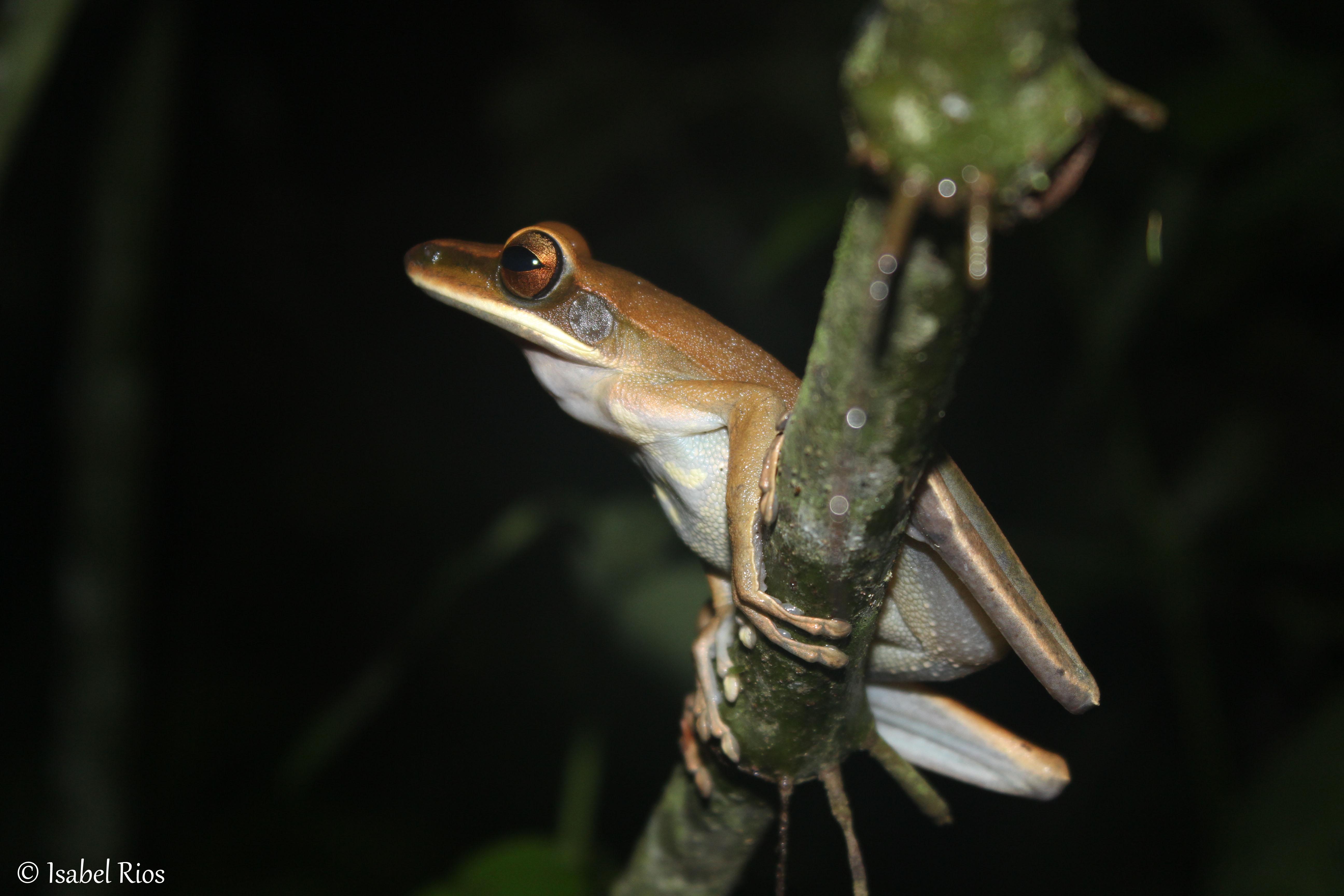 Hypsiboas sp (7)